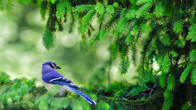 blue-jay-branch-tree-nature-animal-plants-1446183-pxhere.com (1)