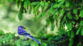 blue-jay-branch-tree-nature-animal-plants-1446183-pxhere.com (1)
